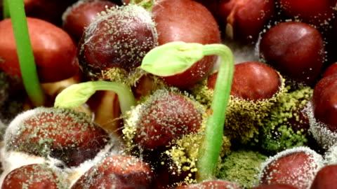 soja-bohnen atacked von fungi hd - pilz stock-videos und b-roll-filmmaterial