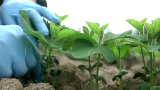 soybean budding in spring in the field - soya bean stock videos & royalty-free footage