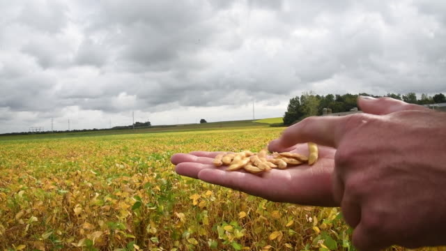 soybean farming and operations in neerhespen, belgium on thursday, september 12, 2019. - soybean stock videos & royalty-free footage