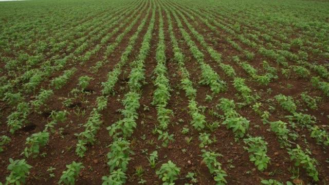 vídeos y material grabado en eventos de stock de soybean fields, india. - monocultivo