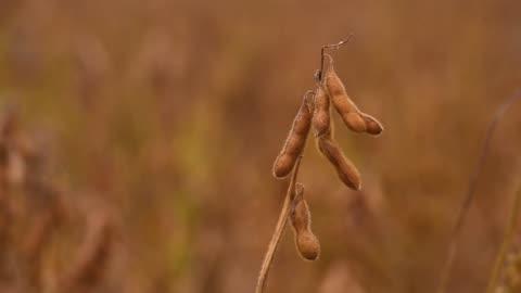 vídeos y material grabado en eventos de stock de soybean pod - bean