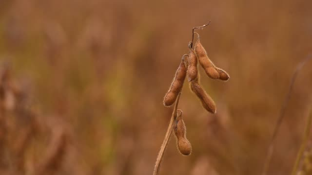 soybean pod - bean stock videos & royalty-free footage