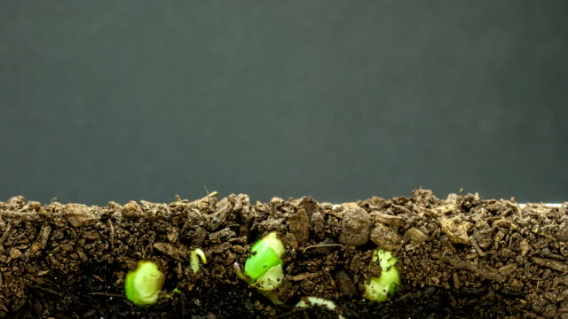 soybeans growing agains a black background - bean stock videos & royalty-free footage
