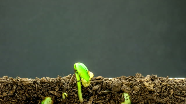soybeans growing agains a black background - soybean stock videos and b-roll footage