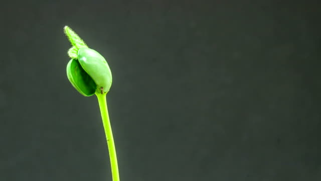 soybeans growing agains a black background - bud stock videos & royalty-free footage