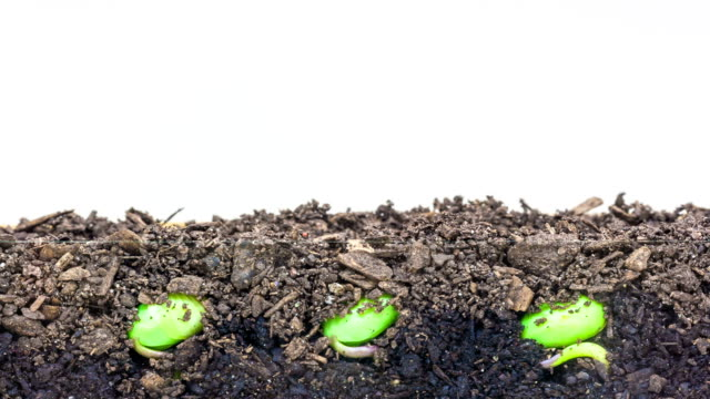 soybeans growing agains a white background - bean stock videos & royalty-free footage