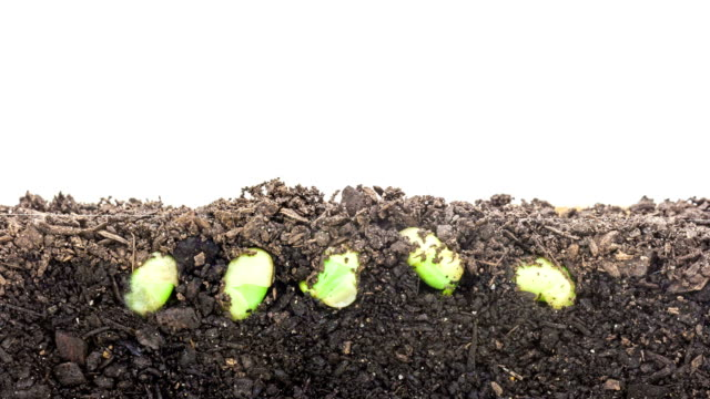 Soybeans growing agains a white background