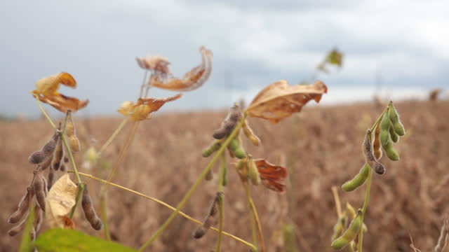 soybeans growing in field, in itaí, são paulo state, brasil, on wednesday, february 24, 2021. the rain has delayed the harvest of soybeans this year,... - focus on foreground stock videos & royalty-free footage