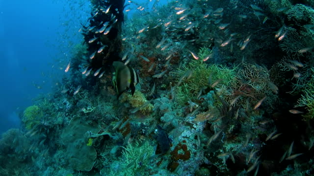 spadefish swimming on the beautiful coral reef - glass fish stock videos & royalty-free footage