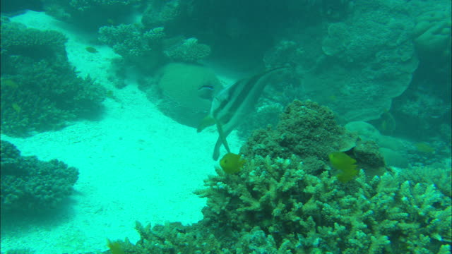 a spadefish swims near corals on the ocean floor. - ocean floor stock videos & royalty-free footage