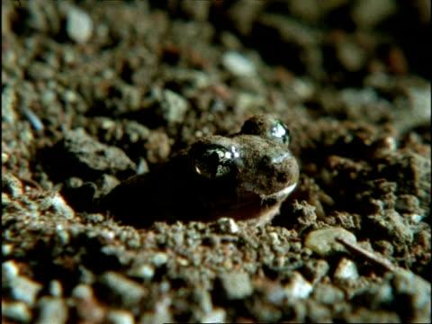 vídeos de stock e filmes b-roll de mcu spadefoot toad (scaphiopus) burrowing in ground, usa - sapo