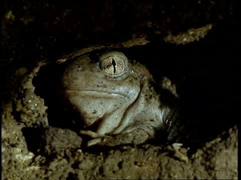 vídeos de stock e filmes b-roll de spadefoot toad hidden in burrow - sapo