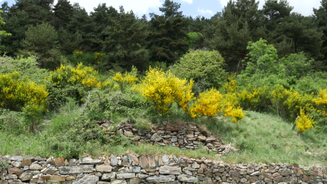 spain catalan spanish broom growing on slope - bush stock videos & royalty-free footage