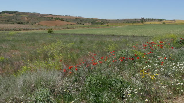 Spain Meseta poppies and daisies by wheat