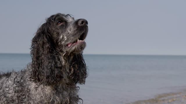 slo mo spaniel barking on beach - bark stock videos & royalty-free footage