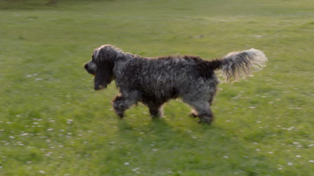 SLO MO Spaniel catching ball in park