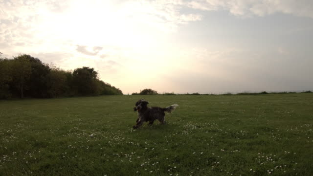 Spaniel running catching ball in park at sunset