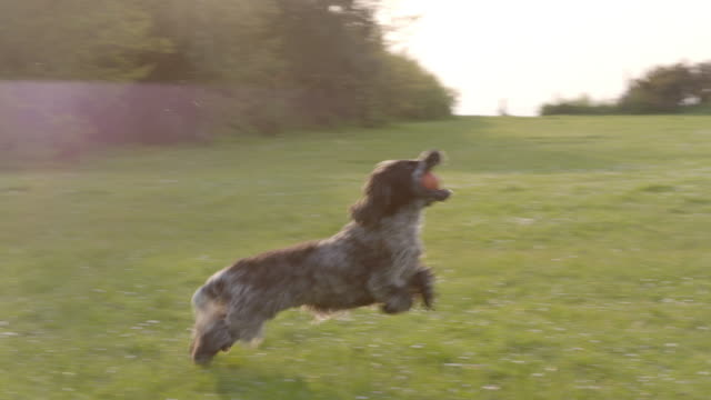 slo mo spaniel running catching ball in park - fangen stock-videos und b-roll-filmmaterial