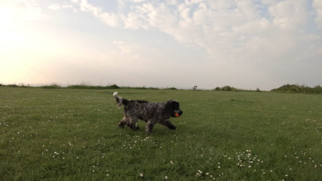 Spaniel running catching ball in park