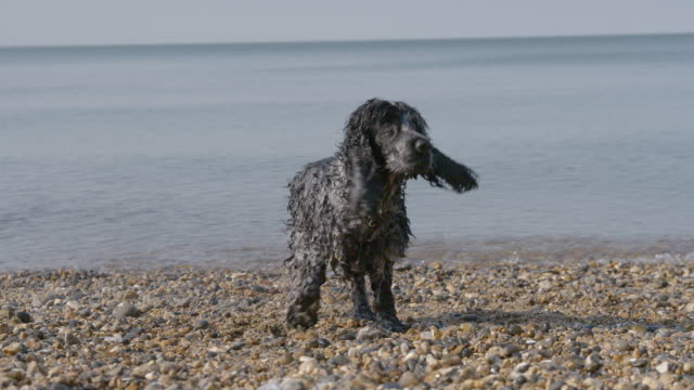 SLO MO Spaniel shaking off water on beach catching ball