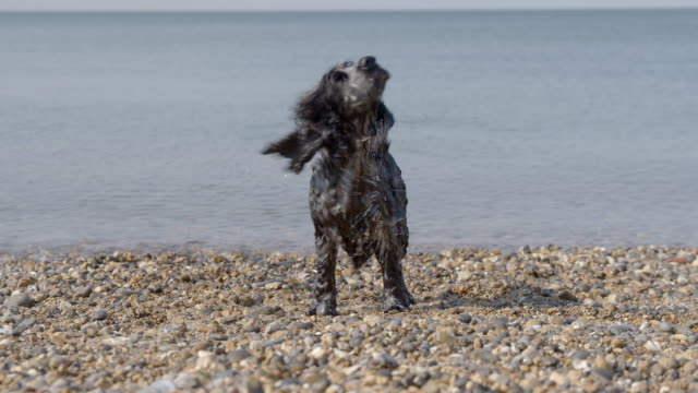 Spaniel shaking off water on beach