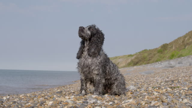 SLO MO Spaniel sitting on beach