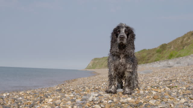 SLO MO Spaniel standing on beach