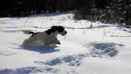 SpanielBlack and white spaniel running in the park