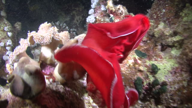 spanish dancer(hexabranchus sanuguineus) dancing at night, red sea, egypt - nudibranch stock videos & royalty-free footage