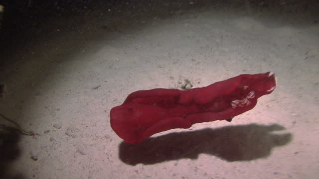 spanish dancer (hexabranchus sanuguineus) landing, shows shrimp at night, red sea, egypt - nudibranch stock videos & royalty-free footage