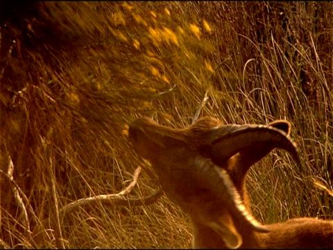 spanish ibex (capra pyrenaica) browsing on broom, andalucia, spain - herbivorous stock videos & royalty-free footage