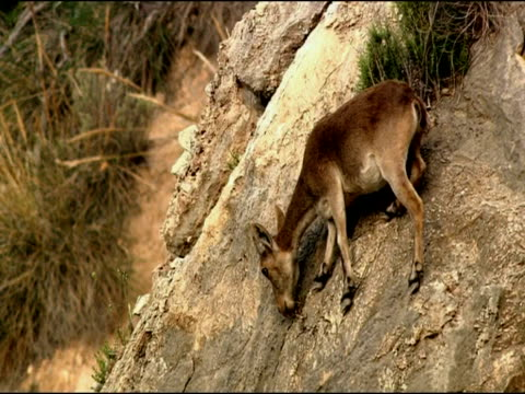 spanish ibex (capra pyrenaica) grazing on cliff, granada province, andalucia, spain - erbivoro video stock e b–roll