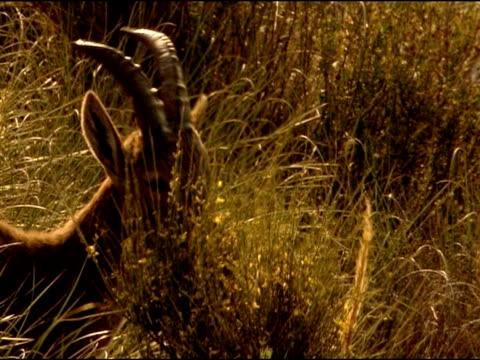 spanish ibex (capra pyrenaica) nibbling broom, andalucia, spain - herbivorous stock videos & royalty-free footage