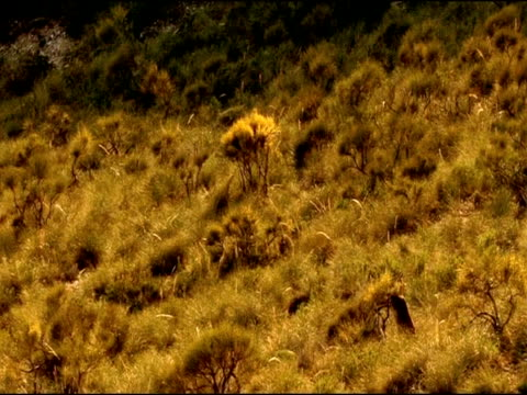 spanish ibex (capra pyrenaica) standing on hind legs to browse broom flowers, andalucia, spain - herbivorous stock videos & royalty-free footage