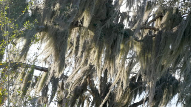 spanish moss growing in a tree. - spanish moss stock videos & royalty-free footage