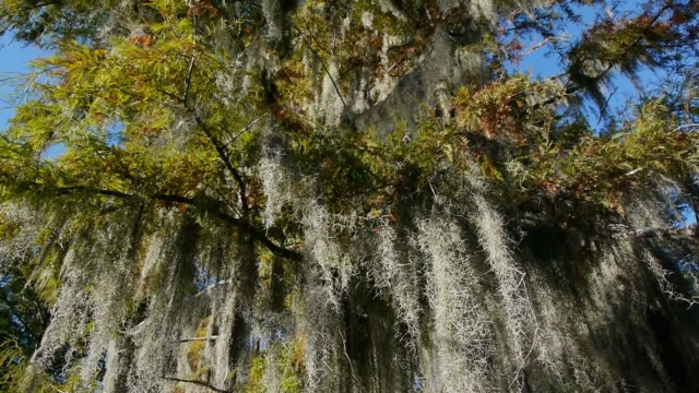spanish moss hanging from cypress tree, autumn color, from below, looking up, tilts up, caddo lake on the texas/louisiana border - epiphyte stock videos & royalty-free footage
