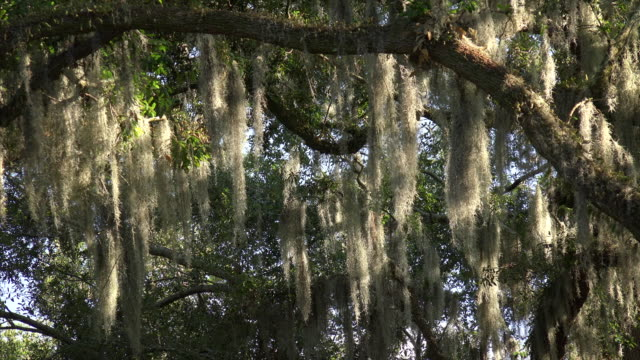 spanish moss hanging from oak tree branches in forsyth park in savannah, georgia - hanging stock videos & royalty-free footage