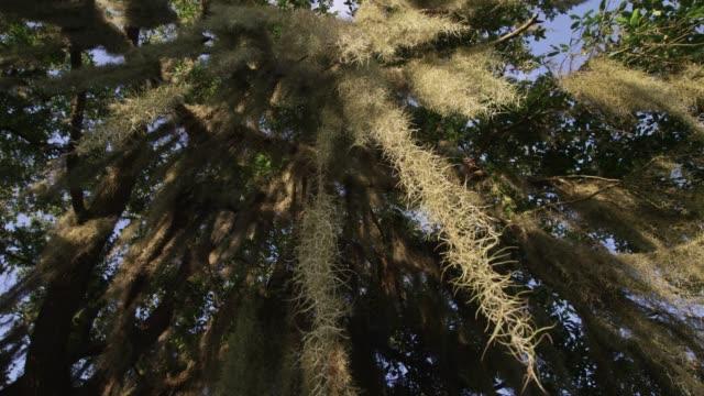 Spanish moss on tree, USA