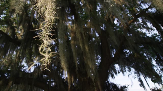 spanish moss on tree, usa - spanish moss stock videos & royalty-free footage
