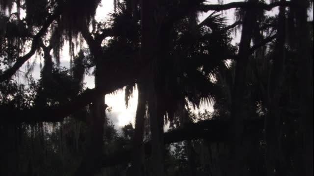 spanish moss sways on silhouetted tree branches in florida. - spanish moss stock videos & royalty-free footage