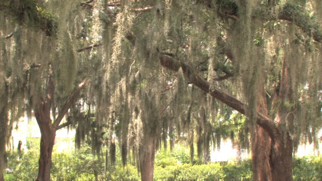 spanish moss - oak tree stock videos & royalty-free footage