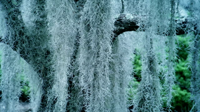spanish moss (tillandsia usneoides) - spanish moss stock videos & royalty-free footage