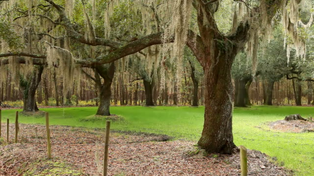 spanish moss - south carolina stock videos & royalty-free footage