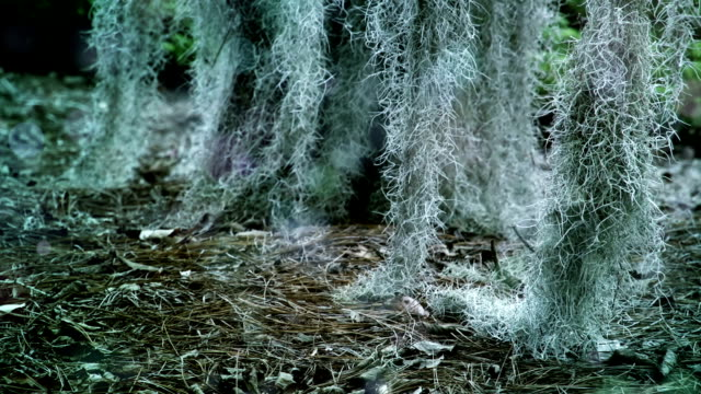 spanish moss (tillandsia usneoides) - epiphyte stock videos & royalty-free footage