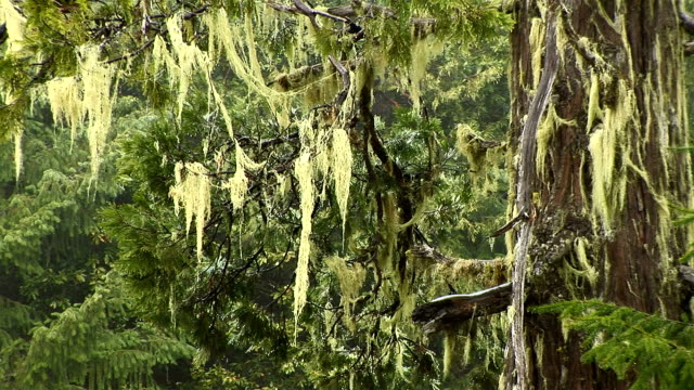 spanish moss - epiphyte stock videos & royalty-free footage