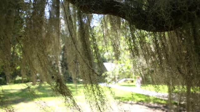 spanish moss,ga. - spanish moss stock videos & royalty-free footage