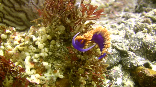 CU Spanish shawl nudibranch on ocean floor / Catalina Island, California, USA