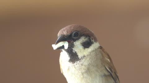 白米を食べる雀 - スズメ点の映像素材/bロール