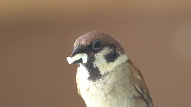 sparrow eating white rice - sparrow stock videos & royalty-free footage