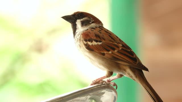 Sparrow in een huis